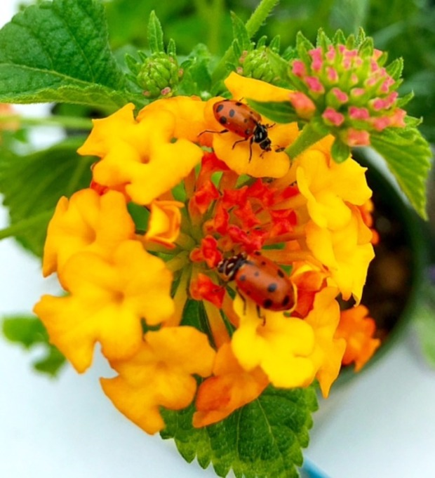 Ladybug-Photo-1