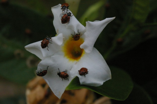 white-allamanda-with-ladybugs-_10_-_3_