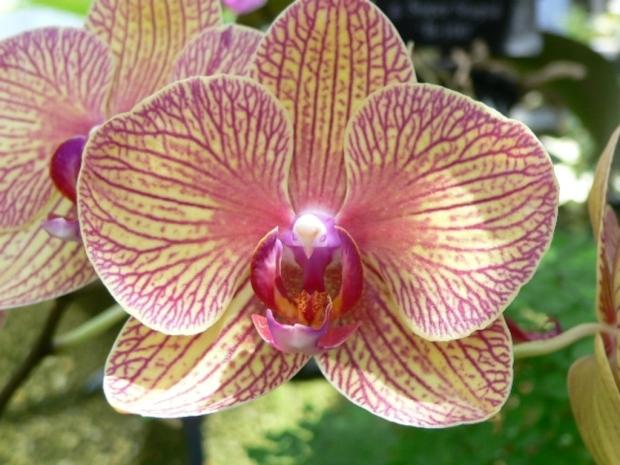 Kaleidoscope-Orchid