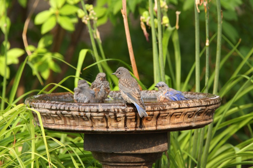 Bathing Bluebirds