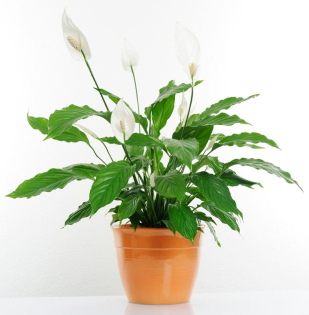 peace-lily-spathiphyllum-_1_