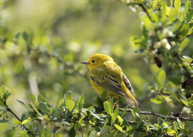 yellow-warbler-in-barberry-mahonia-bush_stock-image